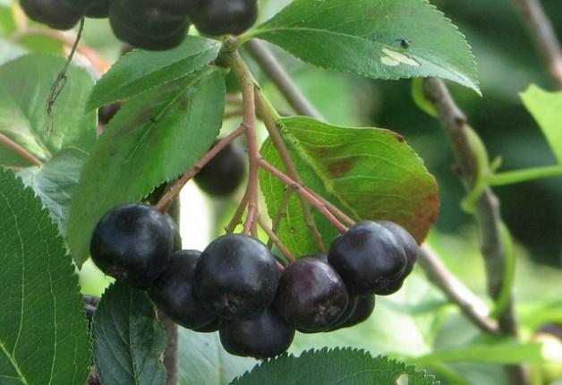 Что делать с черноплодной рябиной: рецепты алкогольных напитков домашнего приготовления