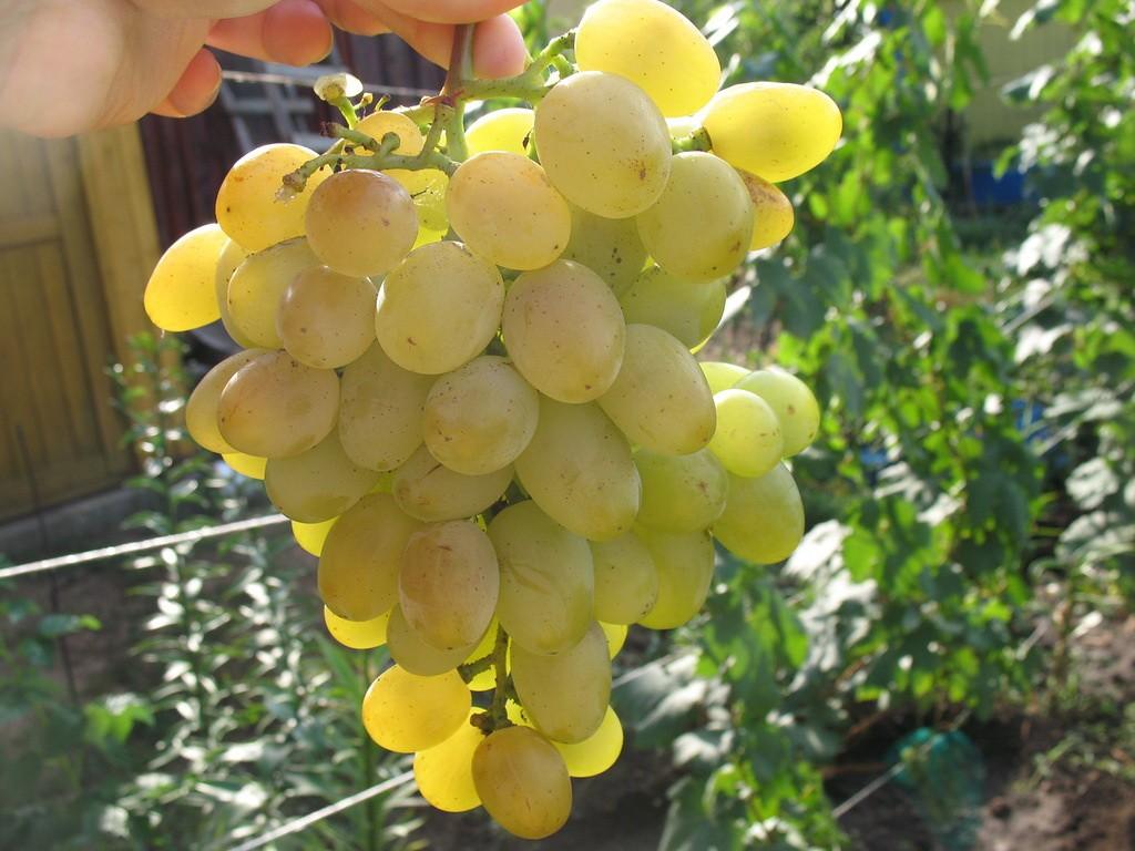 Как выбрать виноград фото
