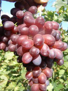 Сорт винограда Красотка фото