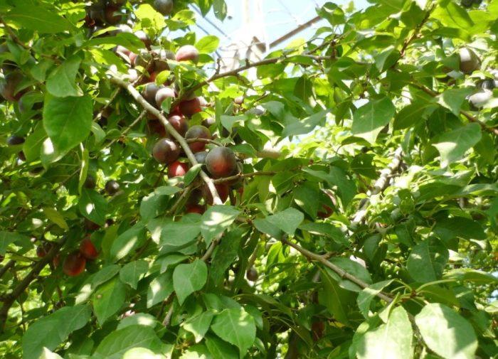 фото синей алычи на дереве