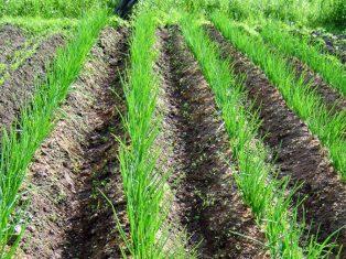 Как вырастить лук китайским способом (на гребнях)