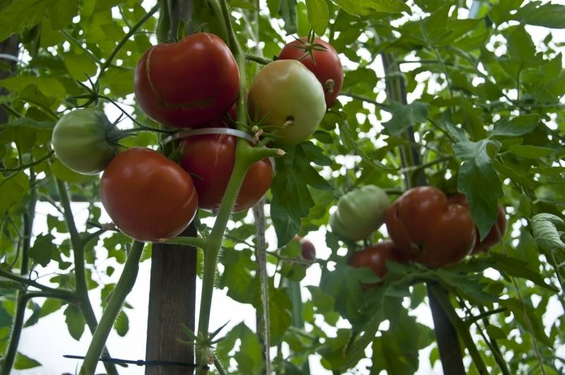 сорта помидор для выращивания на грядках фото